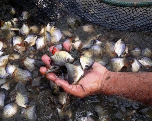 peixes-juvenis-piscicultura-aquapeixe